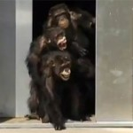 Free-chimp