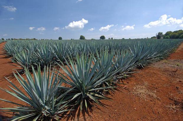 A história da Tequila | Tudo Para Homens | Tudo Para Homens