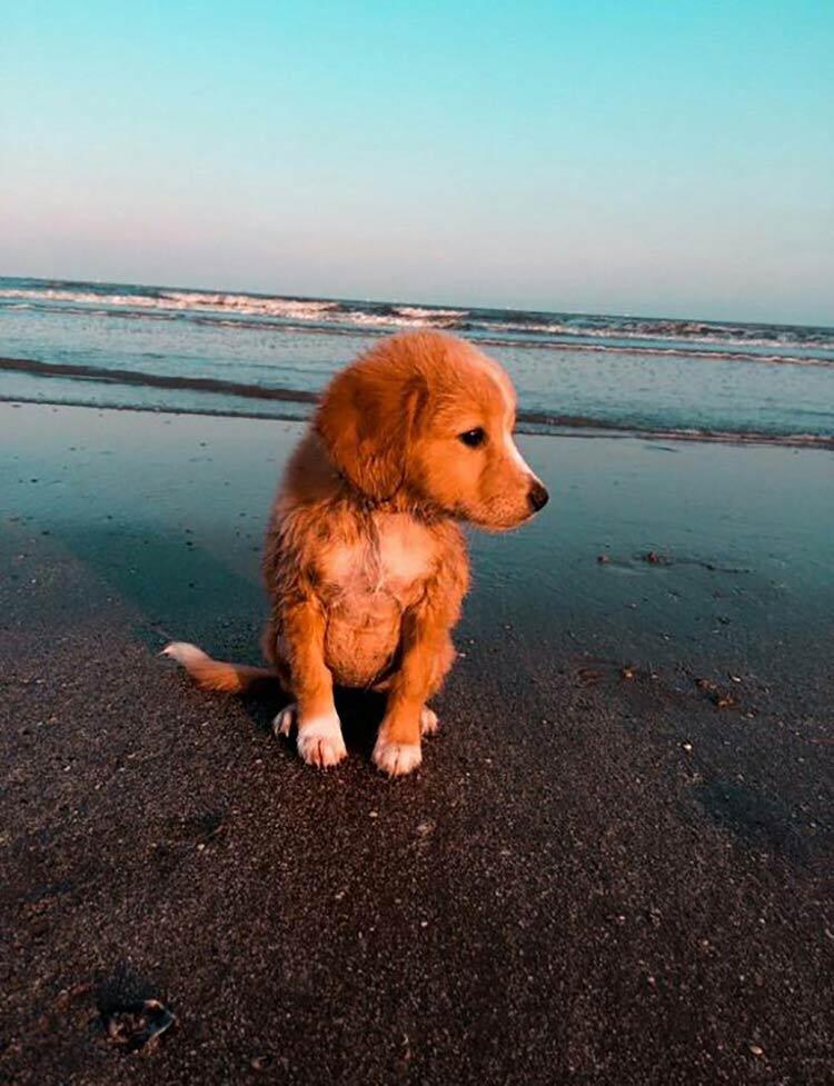 golden-hour-dog